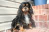 Cavalier King Charles Spaniel, 2, Black/Tan